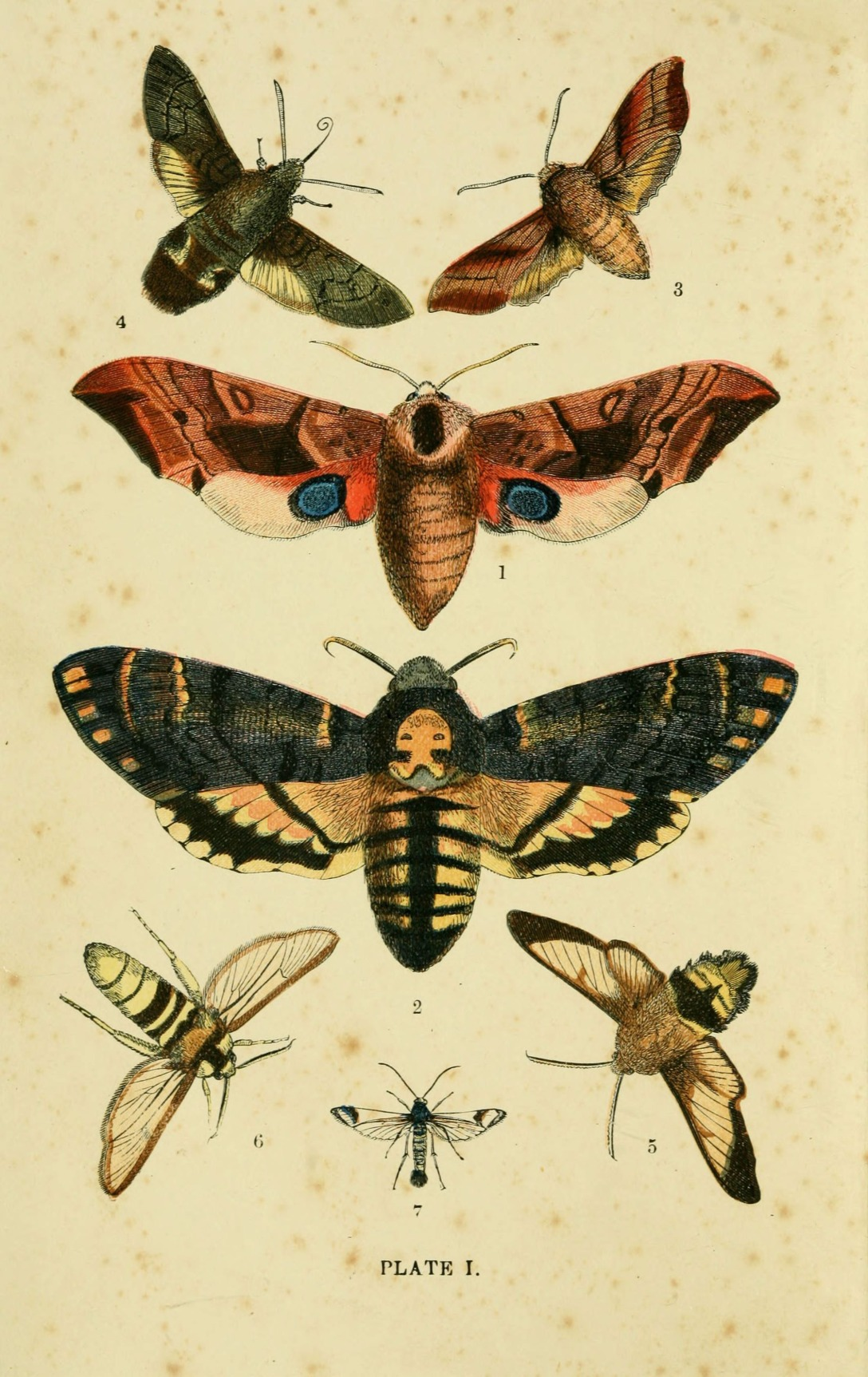 British moths illustration