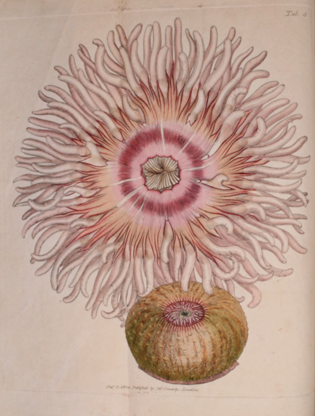 The British miscellany London :Printed by R. Taylor & Co., and sold by the author, J. Sowerby by White, Johnson, Symonds, and all other booksellers,1806. http://biodiversitylibrary.org/item/91785