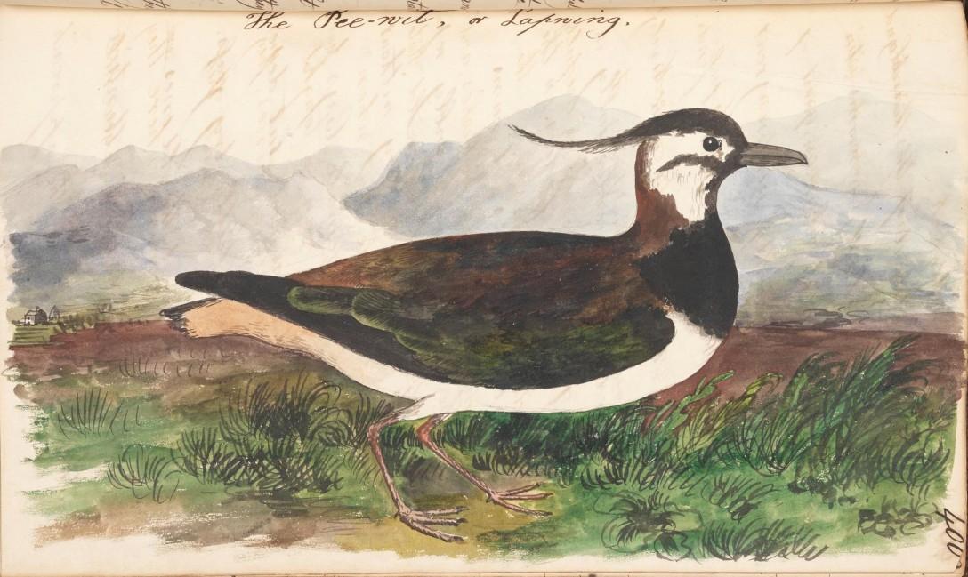 lapwing illustration